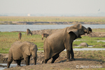 African Elephants wading in a water hole with Waterbuck in the background