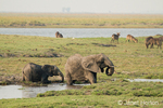 African Elephants taking mud bath, spraying themselves with mud to help protect from insects, with Waterbuck in the background