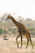South African Giraffe walking, with safari vehicle in background