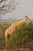 South African Giraffe eating from tree