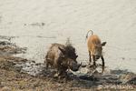 Warthogs shaking after taking a mud bath