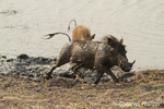Muddy, wet warthog running after mud bathing