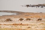 Banded Mongooses running along the Chobe river