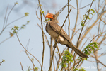 Red-billed Hornbill perched in a tree