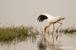 Yellow-billed Stork searching for prey in the shallow areas of the river