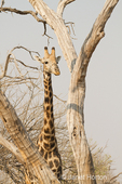 South African Giraffe partially camouflaged behind a dead tree
