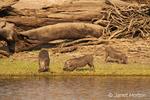 Three warthogs eating grass along the Chobe River