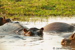 Hippos resting in the Chobe River