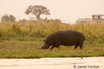 Hippo with battle scars eating grass next to Chobe River, with a tourist houseboat used by fishermen in the background