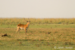 Male Red Lechwe on alert  and an Egyptian Goose along the Chobe River