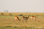 Herd of male Red Lechwe grazing along the Chobe River