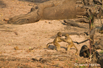 Two juvenile Chacma (or Cape) Baboons play fighting along the Chobe River