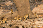 Seven juvenile Chacma (or Cape) Baboons playing at the base of a Common Wild Fig tree along the Chobe River
