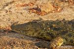 Nile Crocodile close-up along the Chobe River