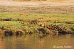 Nile Crocodile climbing out of the Chobe River