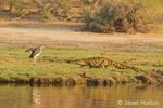 Nile Crocodile walking towards a  Marabou Stork along the Chobe River