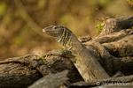 Water Monitor Lizard close-up along the Chobe River