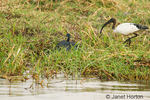 African Sacred Ibis and Black Heron along the Chobe River