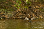 African Darter perched with outspread wings after swimming, in the Chobe River