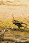 African Darter with wings partially spread, resting on a log in the Chobe River