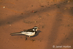 African Pied Wagtail walking on sand along the Chobe River