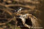 Pied Kingfisher resting on a log in the Chobe River