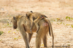 Chacma (or Cape) baboon mother carrying baby on her back
