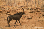 Male Sable Antelope walking in the forest