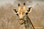 South African Giraffe head and shoulders view