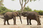 Juvenile African Elephants playing and showing affection with their trunks