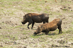 Warthogs half wet and muddy from being in a dirty water hole