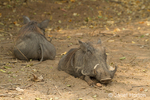 Two Warthogs resting