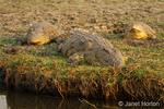 Three Nile Crocodile lying beside the Chobe River