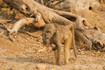 Chacma (or Cape) baboon mother carrying baby underneath her, along the Chobe River