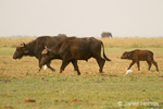 Two adult African (or Cape) Buffalo and calf with Cattle Egrets