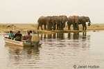 African Elephant herd huddled together, waiting to cross the Chobe River