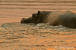 Hippo swimming in river at sunset