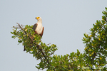 African Fish Eagle perched in tree