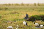 Black Heron landing and African Sacred Ibis in the wetlands along the Chobe River