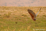 Goliath Heron taking off in the wetland area near the Chobe River