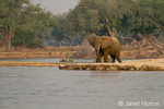 African Elephant on guard, standing by the Zambezi River