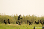 Flock of African Open-billed Storks, with some landing, near the Zambezi River