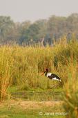 Saddle-billed Stork wading in the marsh near the Zambezi River