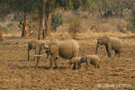 African Elephant mothers and babies