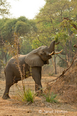 African Elephant with elevated trunk, eating tree leaves