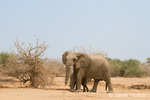 African Elephant mother with shy baby hiding behind her as they walk