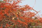 Chacma baboon climbing in Flame Creeper tree