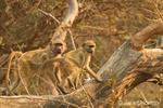 Two Chacma Baboons climbing in a tree