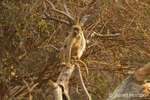 Chacma Baboon climbing in a tree