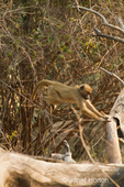 Chacma Baboon leaping for a branch in a tree